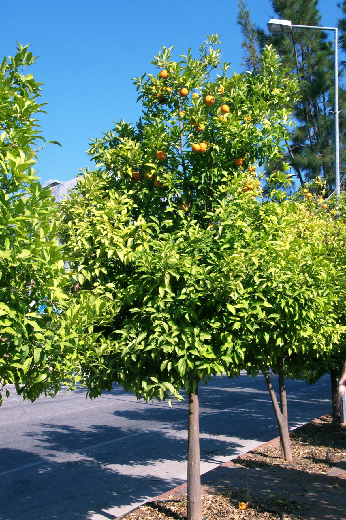 апельсины-в-турции