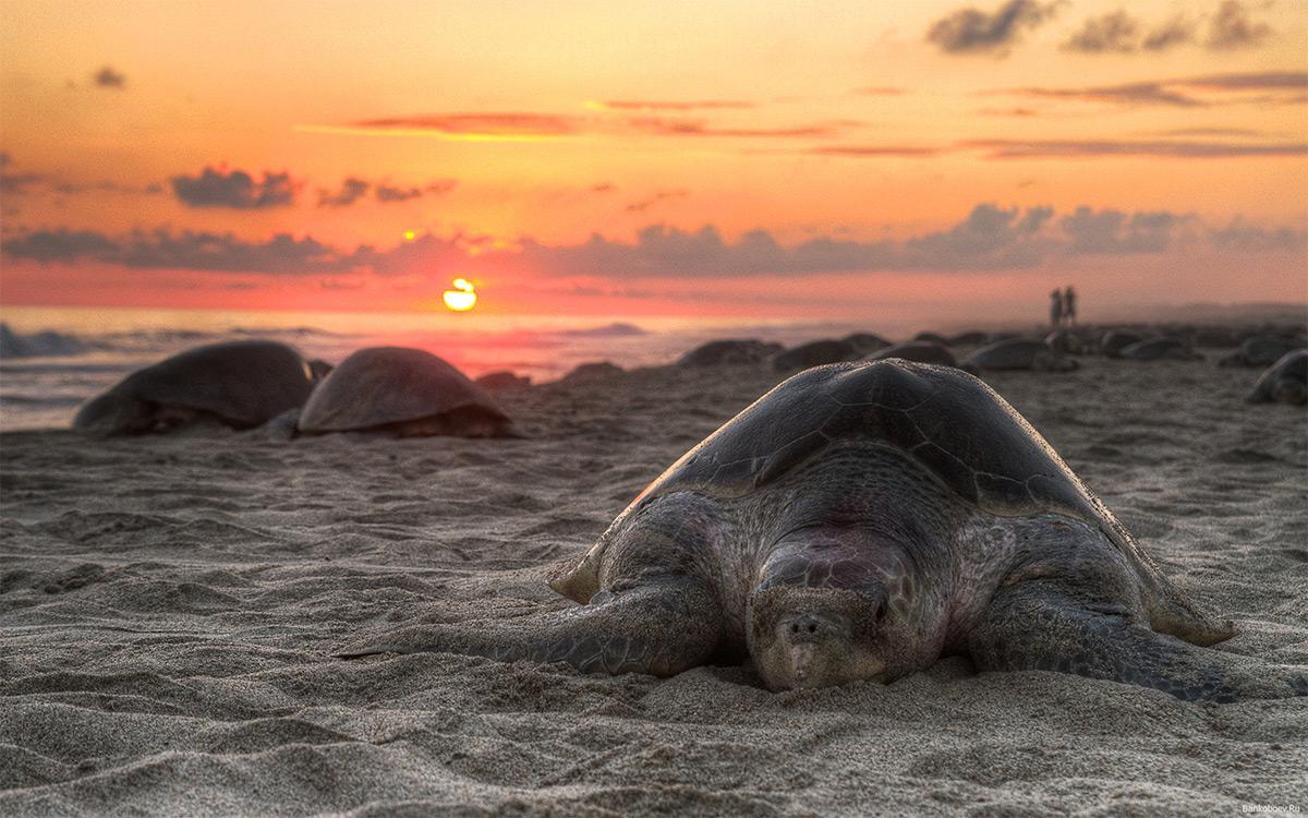 черепаха-на-пляже